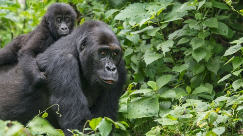 An eastern lowland gorilla rides on the back of its mother in Kahuzi Biega National Park, Democratic Republic of Congo