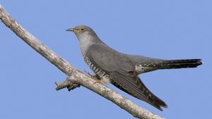 Cuckoo Spotting