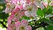 Naturefile - Hawthorn Flowers