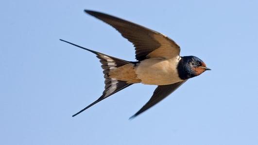 Naturefile - Swallows