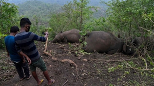 Men stand near dead wild elephants, suspected to have been killed by lightning, on a hillside in Nagaon district of Assam state