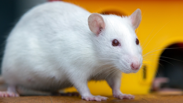 Oxygen was delivered in gas form to mice via their rectums (file image)