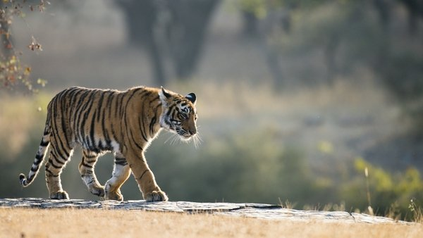 Police said the tiger appeared unharmed (File pic)