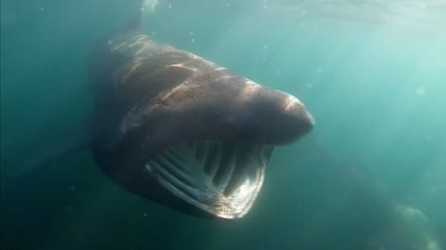 Research indicates that Ireland hosts up to 20% of the world's basking shark population