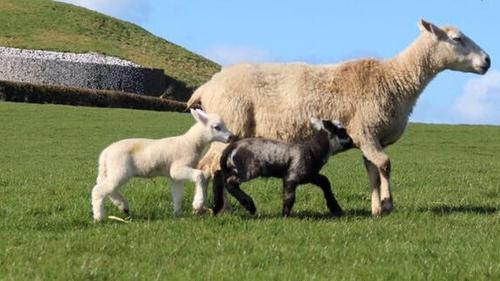 Newgrange Farm Sheep