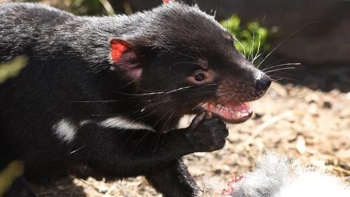 26 adult Tasmanian devils were released in Barrington Tops last year (File photo)