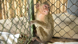 One of the wild monkeys rescued from a truck during a smuggling attempt sits in a cage at the animal field hospital in Nakhon Nayok (Pic: Thai Dept of Natural Parks, Wildlife and Plant Conservation)