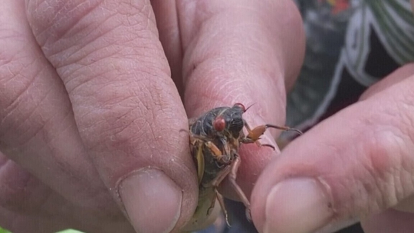 The harmless bugs emerge from the ground every 17 years and shed their exoskeletons