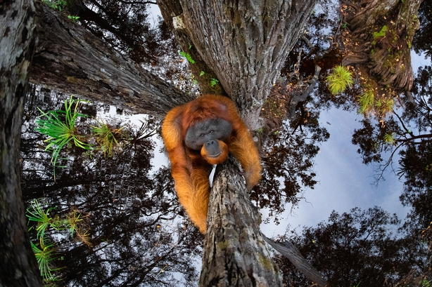 An orangutan climbs a tree trunk in Borneo, the sky and canopy reflected in the water below (Thomas Vijayan/Nature TTL/PA)