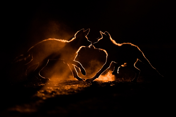 Wild dog puppies playing in the dust of the South African desert (Bence Mate/Nature TTL/PA)
