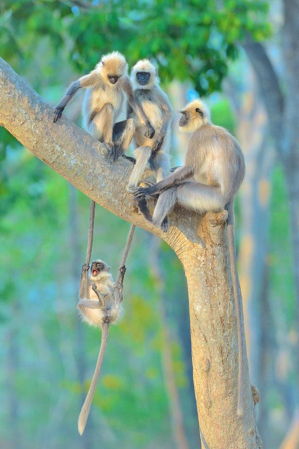 A group of grey langurs enjoy some family time (Thomas Vijayan/Nature TTL/PA)