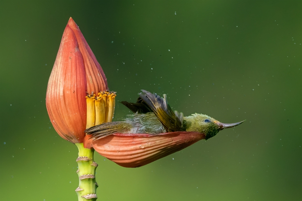 A crimson sunbird bathes in the dew captured by a banana flower (Mousam Ray/Nature TTL/PA)