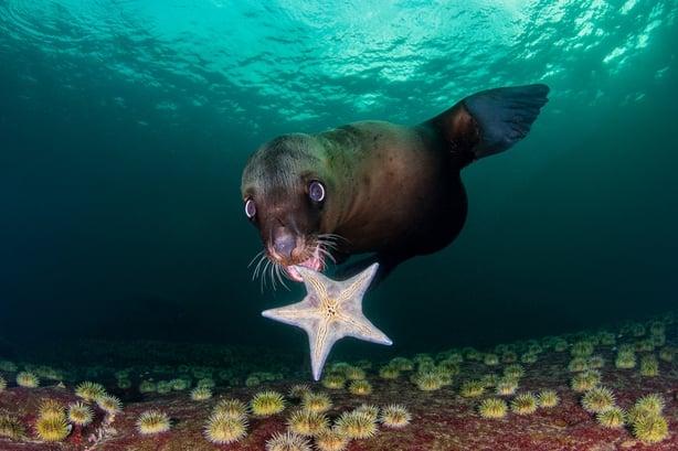 A Steller sea lion plays with a starfish near Hornby Island, Canada (Celia Kujala/Nature TTL/PA)