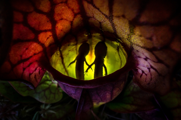 Two salamanders trapped by a predatory norther pitcher plant (Samantha Stephens/Nature TTL/PA)