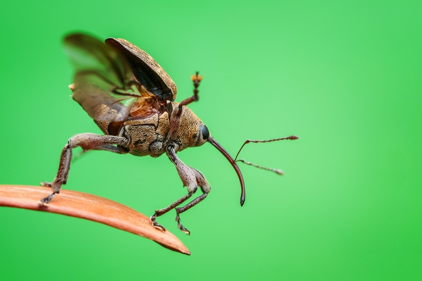 An acorn weevil readies itself to fly (Christian Brockes/Nature TTL/PA)