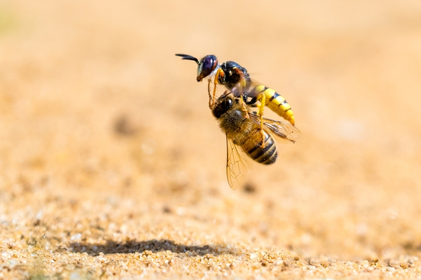 The solitary bee wolf wasp claims another victim (Simon Jenkins/Nature TTL/PA)