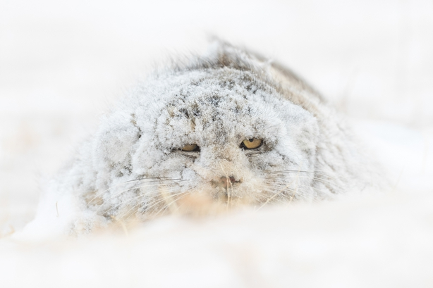 A rare Pallas' Cat on the snowy steppes of Mongolia (Amit Eshel/Nature TTL/PA)