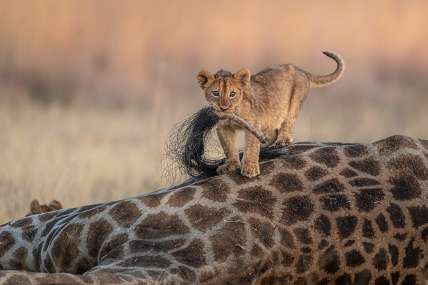 A lion cub playing on the carcass of a giraffe (Charl Stols/Nature TTL/PA)