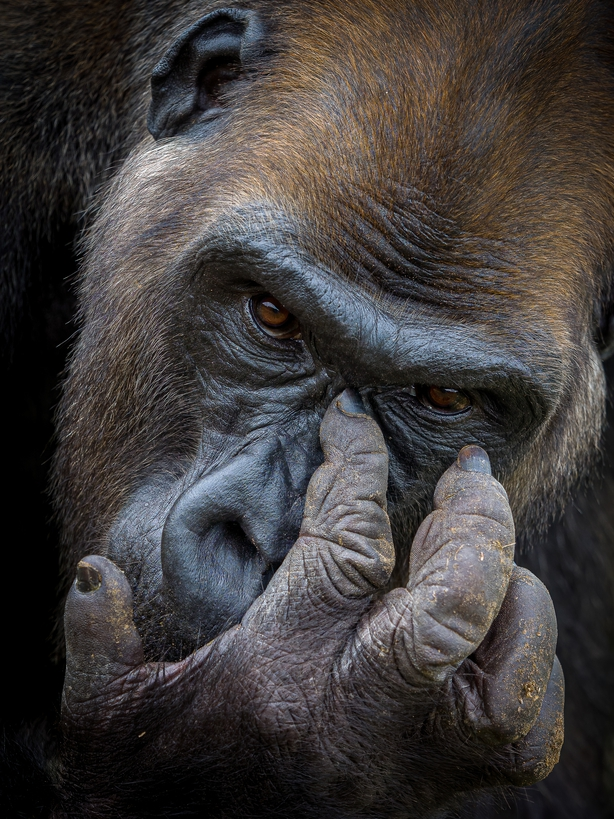 A lowland gorilla named Kangu in the Lesio Louna reserve in the Republic of the Congo (Tomasz Szpila/Nature TTL/PA)