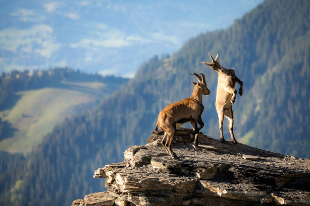 Two young mountain goats frolicking in the Swiss Alps (Raphael Schenker/Nature TTL/PA)