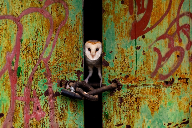 A barn owl peering through the door of an abandoned house (Jose Luis Ruiz Jiminez/Nature TTL/PA)