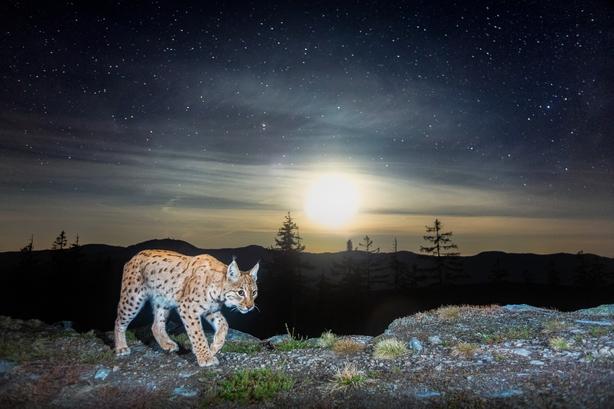 A homemade camera trap captures a roving northern lynx (Vladimir Cech Jr/Nature TTL/PA)