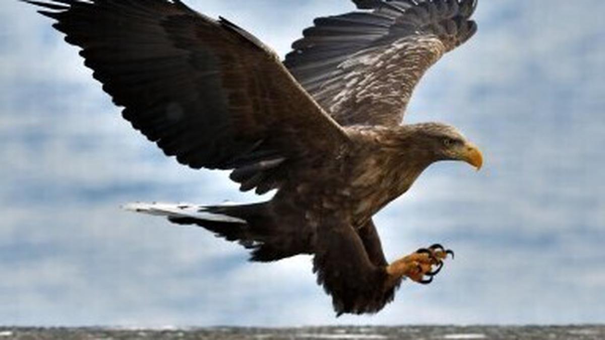 Naturefile - Sea Eagles