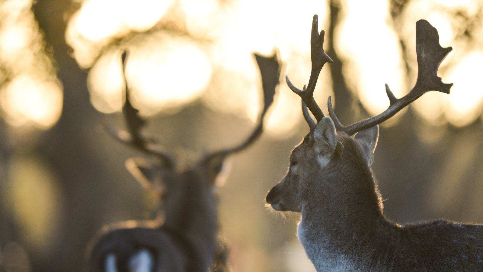 Image - Deer culling raises strong hostility among animal rights activists