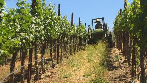 A tractor lawnmower removes dry grass that would fuel a fire should flames reach the Bravante Vineyards