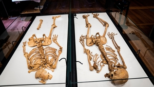 The two skeletons lie in a showcase at The National Museum of Denmark