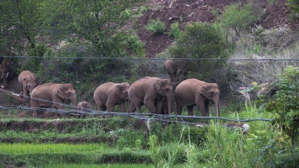 The herd is taking a break near Kunming