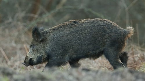 Boar are considered an alien species here and it is policy to eradicate those released illegally