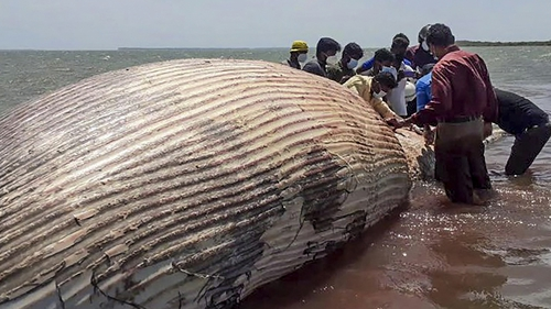 Volunteers in Sri Lanka checking the carcass of a blue whale that washed ashore
