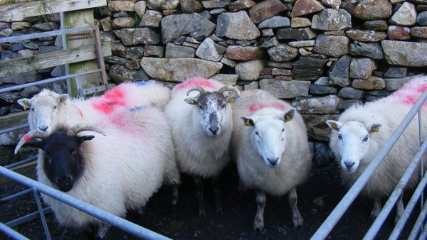 Efforts are under way to regenerate the flocks by assembling breeding groups