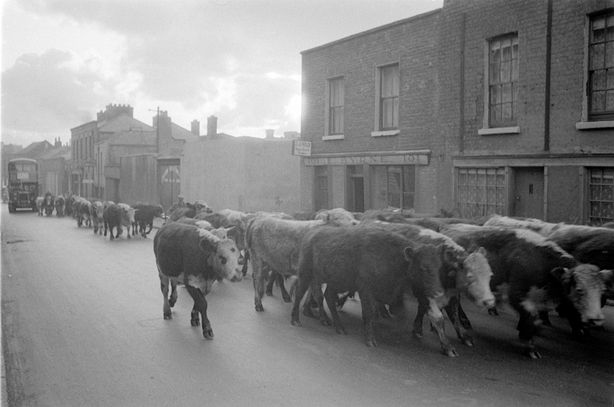 Cattle on North King Street, Dublin city in 1952/1953