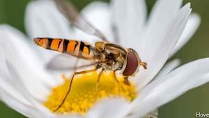 Naturefile - Hover flies