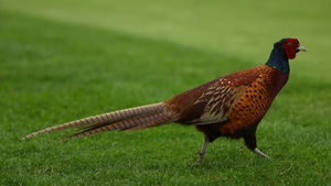 A pheasant is pictured during the first round