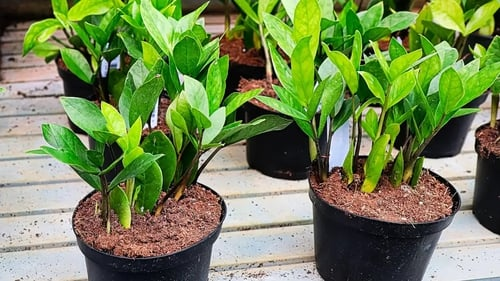 If you are looking for a low-maintenance houseplant, consider these options, says Luke Rix-Standing.