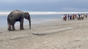 Local residents tied ropes around the massive animals' necks to coax them to safety
