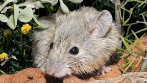 The study found that the extinct Gould's mouse was indistinguishable from the Shark Bay mouse