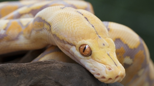 The snake was removed from the toilet by a reptile expert, cleaned and returned to its owner (File image)