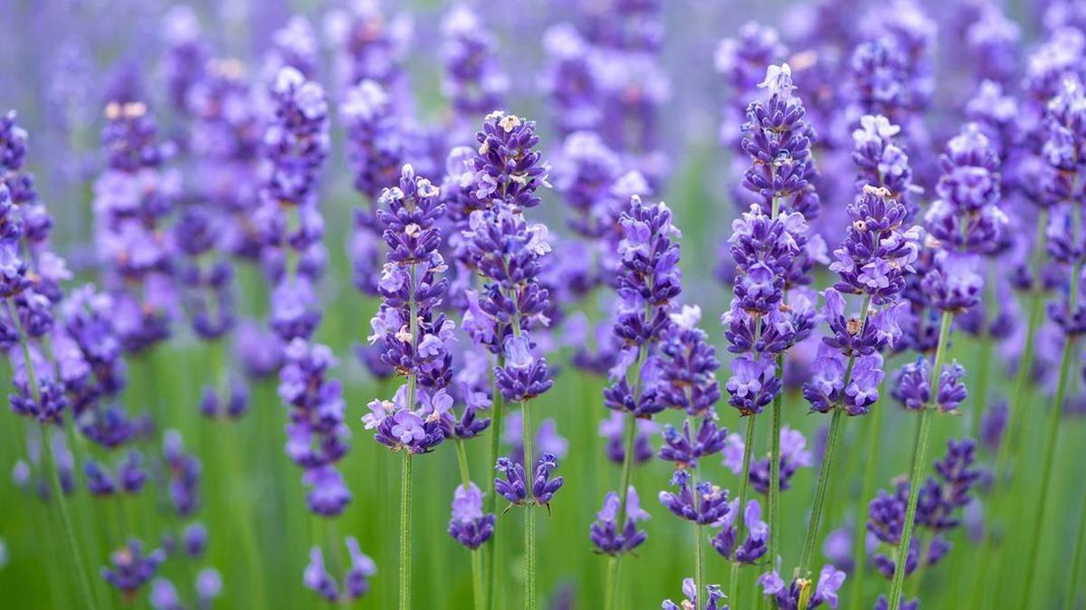 Irish Lavender