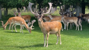 OPW guidelines say to keep a 50-metre distance from deer in Phoenix Park
