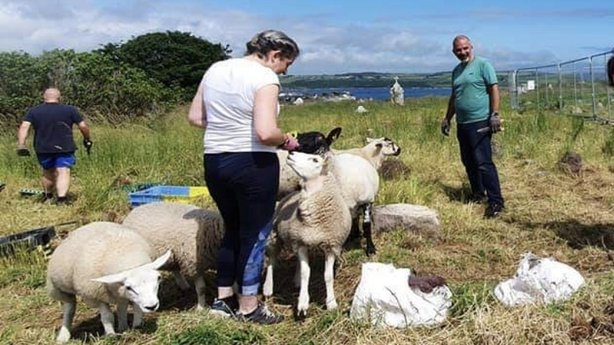 Sheep at Crosshaven cemetery