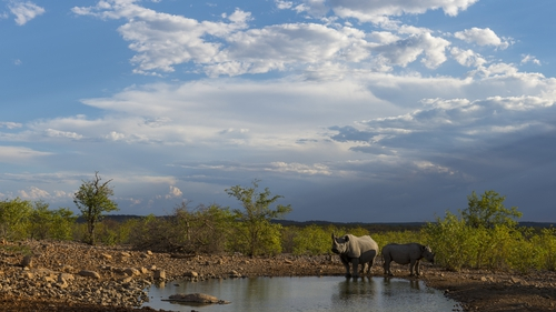White rhinoceros mother and calf at a waterhole in the Ongava Game Reserve in northwestern Namibia