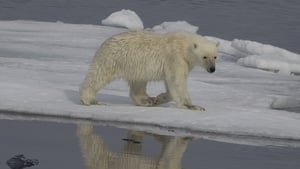 Polar bears are coming off the ice to hunt for food on land (file image)