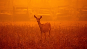 A deer wanders in heavy smoke in front of a row of burned cars during the Dixie fire in Greenville, California