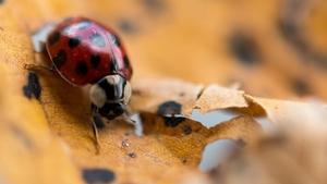 Naturefile - Ladybirds