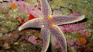 Naturefile - Starfish