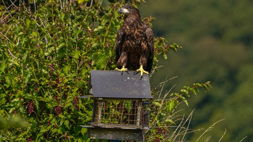 Gary Tobin captured a series of photographs of a white-tailed eagle on a bird table in Co Waterford
